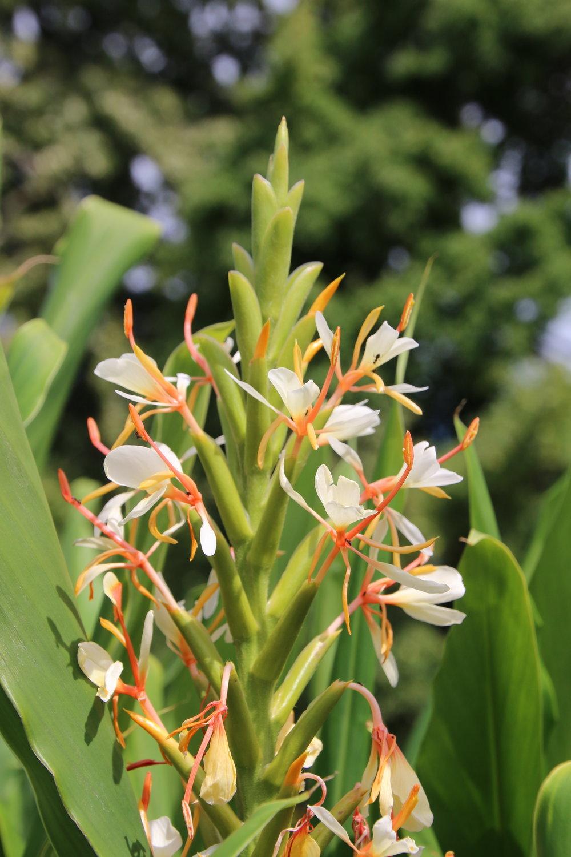 Hedychium spicata