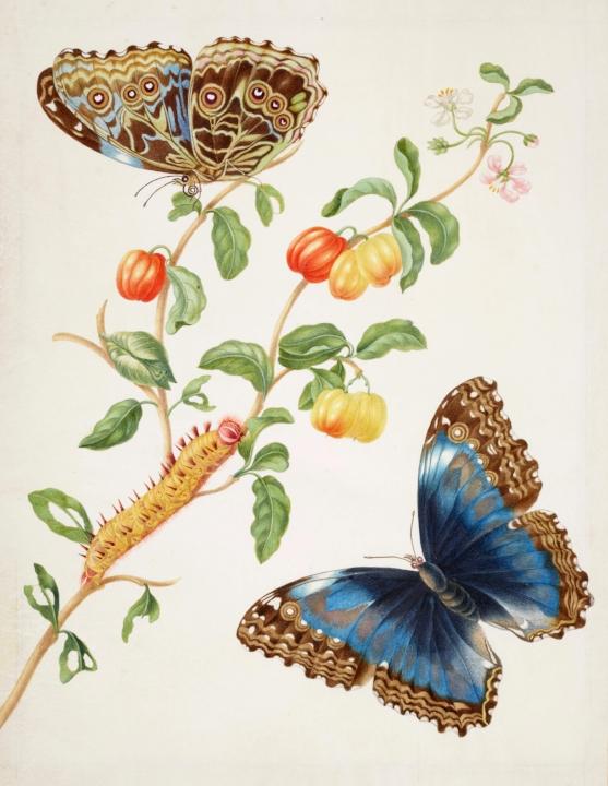 Merians ingekleurde gravure van een west-indische kers (Malpighiaemarginata) en  een morpho vlinder, ca. 1700.