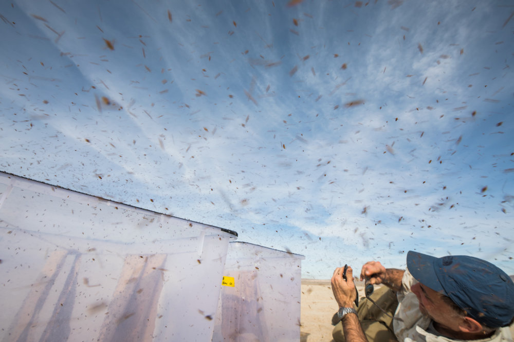 The great release - thousands of hungry flies to take the air.