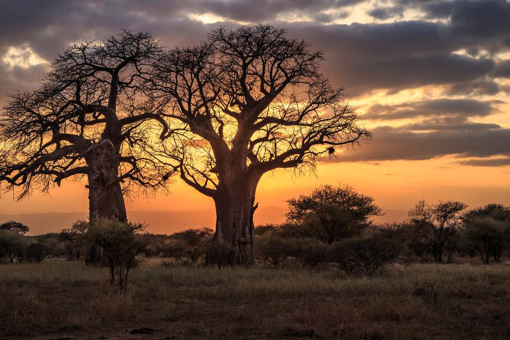 baobabs.jpeg