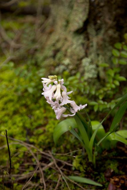 hyacinth1.jpg