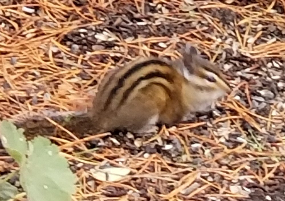 This is Sarah, a Townsend chipmunk. She lives in the woods but occasionally visits the birdfeeder to help clean up. -