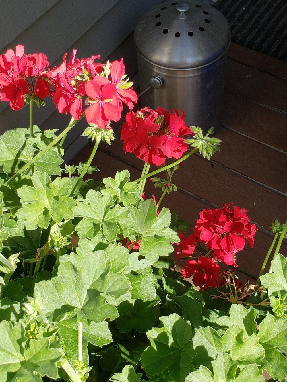 Red Geranium - Officially a Pelagonium but who's checking?