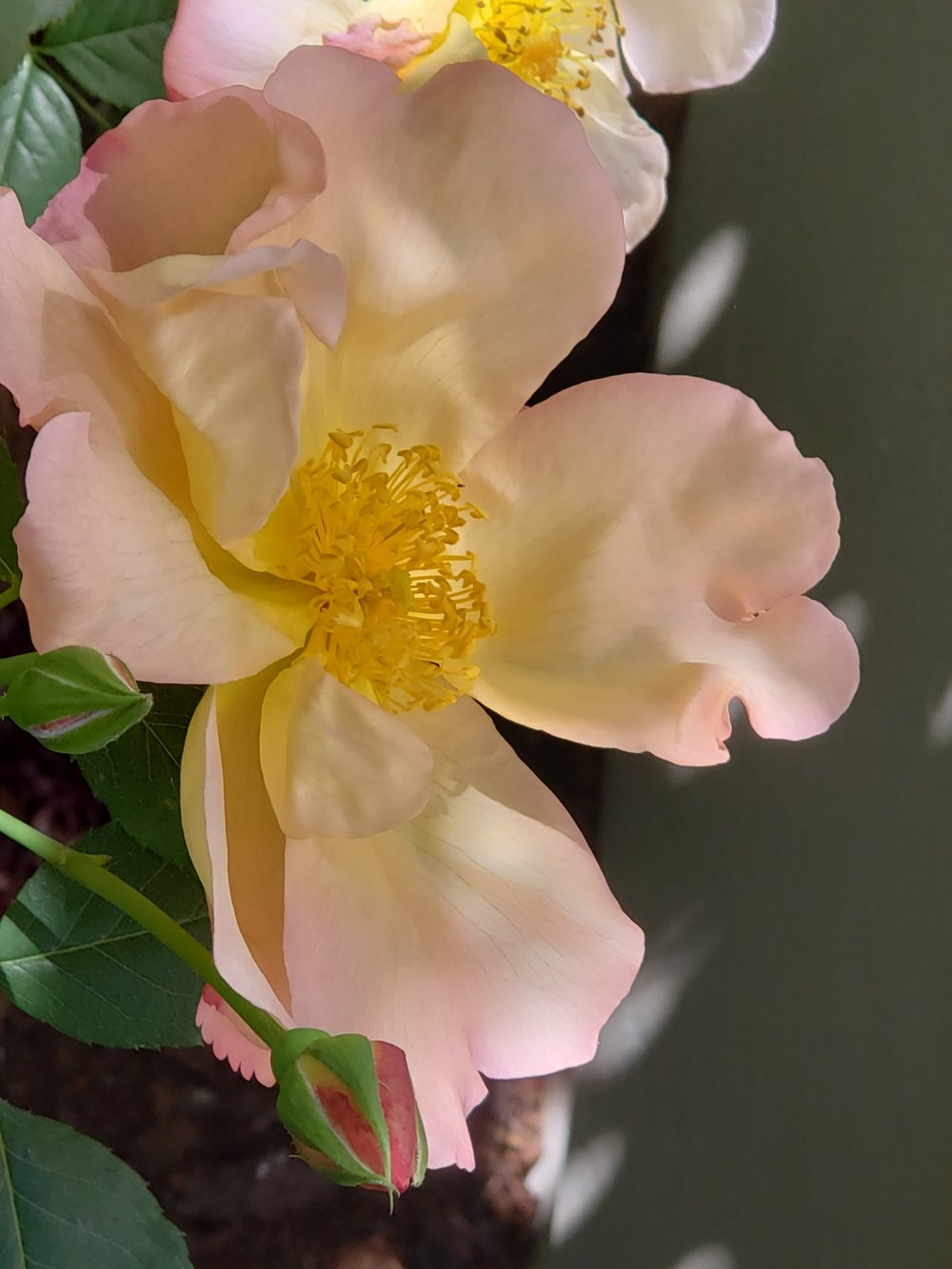 Rose 'Fighting Temeraire' -