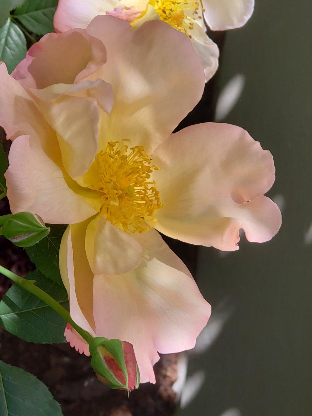 Rose 'Fighting Temeraire' -