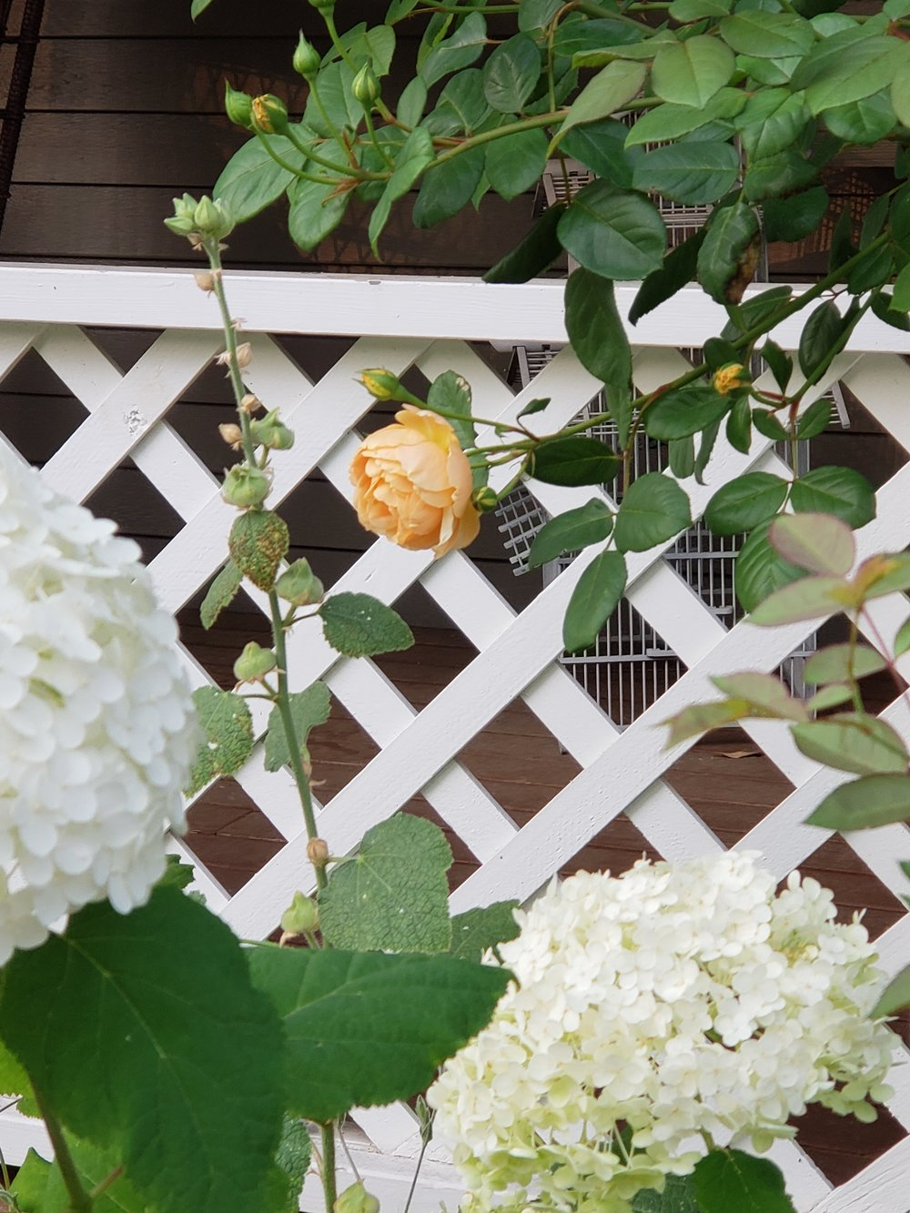 Hydrangea 'Annabelle' with Rose 'Jude the Obscure' -