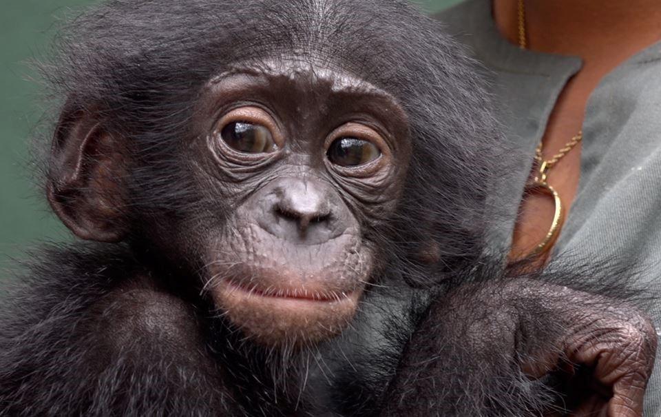 Bonobo2.jpg