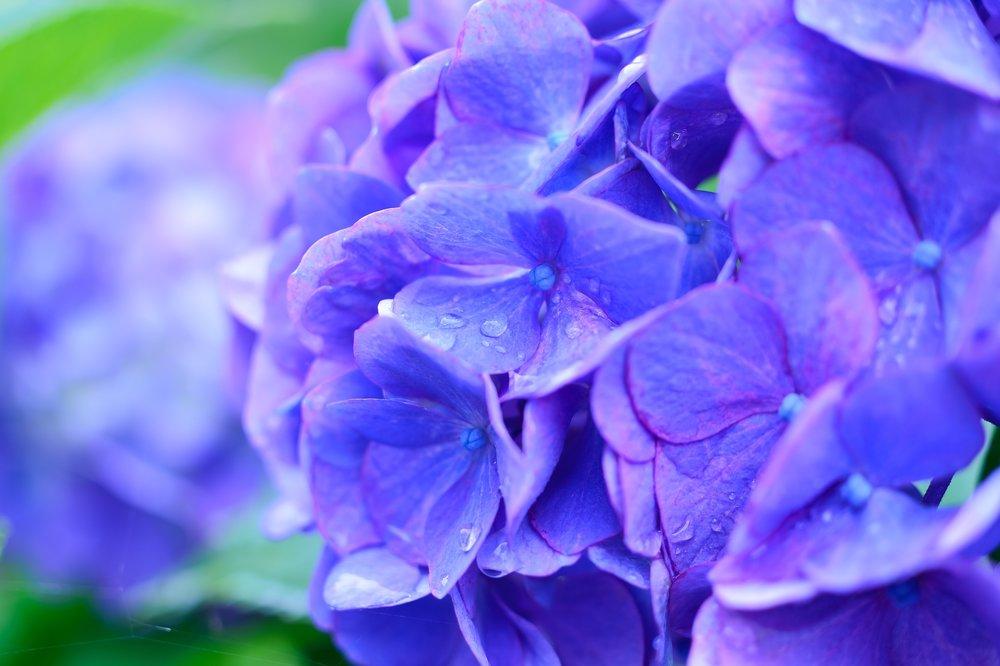 2. Hydrangea