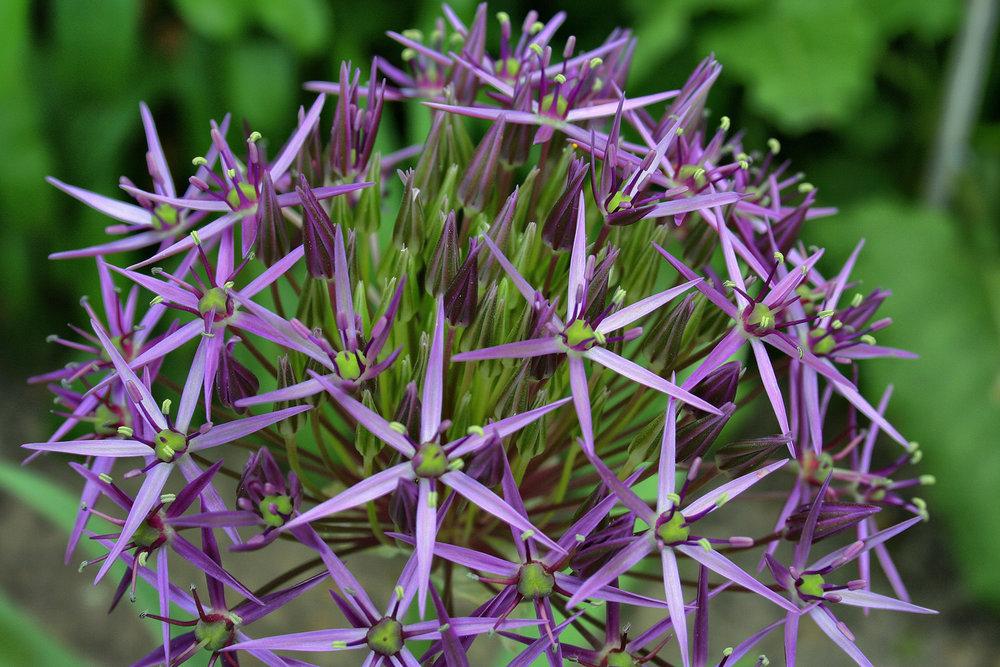 6. Allium
