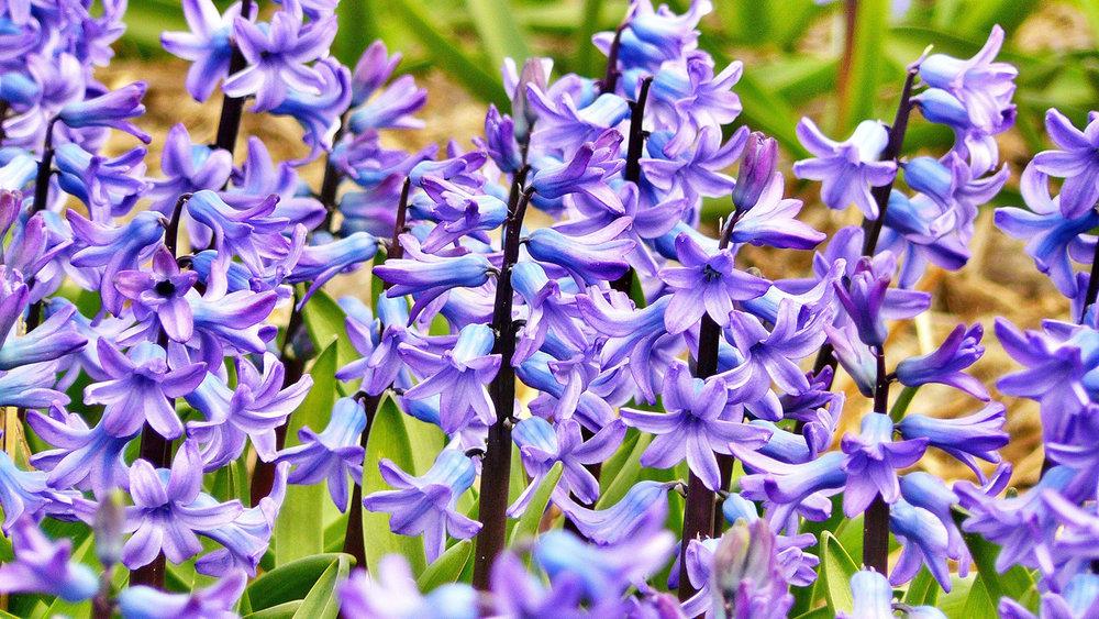 8. Hyacinth