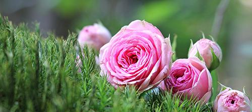 4. Geoff Hamilton Roses