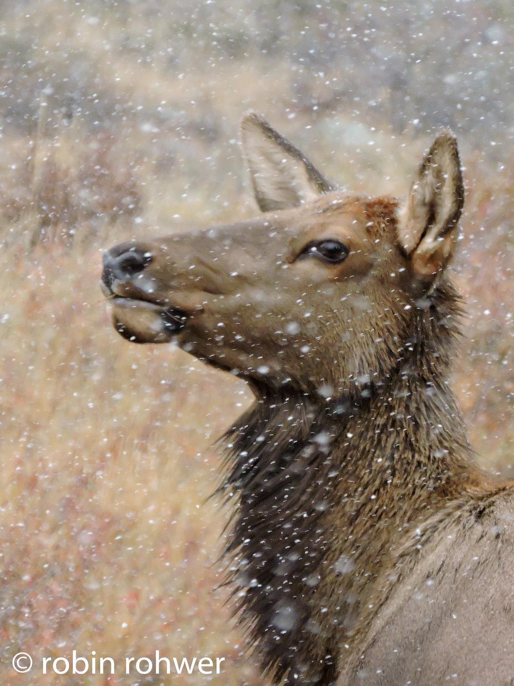Estes Elk-1.jpg