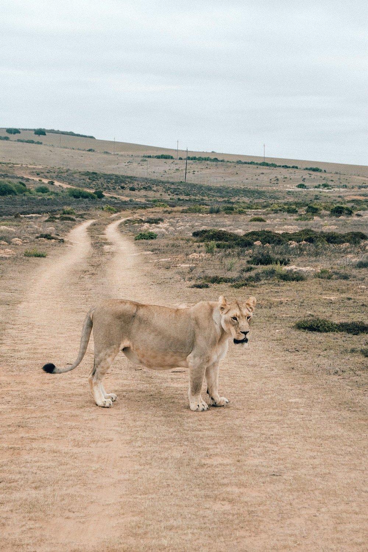 Wie viele Tiere sieht man wirklich? - Zu jeder Safari gehört ein bisschen Glück. manche Wildtiere schlafen in Sträuchern, ruhen auf nicht befahrbaren Wiesen oder sind ganz einfach nicht sichtbar. Unsere Rangerin Robyn gab sich unglaubliche Mühe jede unserer Fahrten so aufregend wie möglich zu gestalten. Sie nahm sich vor allem aber auch Zeit und erzählte uns spannende Anekdoten und lustige Geschichten über die all hier lebenden Tiere und deren Verhalten. Dass es keine einzige Frage gab, die sie nicht beantworten konnte, fand ich mehr als beeindruckend! Immer wieder hielten wir an, um die Tiere so nah wie möglich beobachten zu können. Vor allem den Elefanten und Giraffen sind wir derart nahe gekommen, dass ich sie mit einem Ausstrecken meines Armes berühren hätte können. Anderen Tieren gewährte man wiederum etwas Privatsphäre, wenn die Gefahr auf aggressives Verhalten bestand.