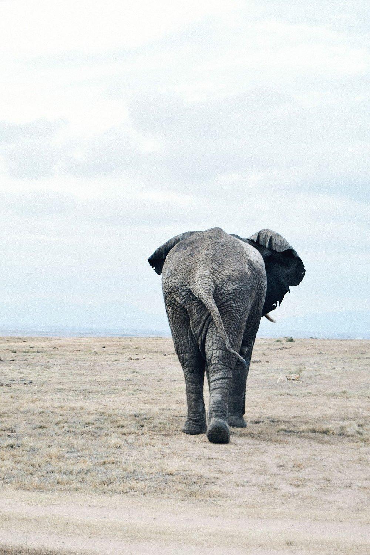 - Büffel: bei unserem Game Drive konnten wir relativ nahe an die grasende Büffelherde heranfahren. Die Tiere wirken äußerst ruhig, spazierten gemächlich umher und beachteten uns kaum. Robyn erklärte uns aber, dass die Tiere äußerst zahm wirken, geraten sie jedoch in Rage ist ihr Verhalten nicht mehr vorhersehbar. Sie stehen daher an der Spitze der Big Five.Elefant: keine Tier haben wir so oft gesehen wie die zwei Elefanten, die es im Reservat gibt. Die beeindruckenden sanften Riesen kamen sehr nah an unseren Wagen heran und als Überraschung gab es bei unserem letzten Game Drive eine Fütterung, bei der wir den Elefanten Graspellets geben durften. Vorsichtig ist bei den männlichen Tieren geboten, die gerade in Paarungsstimmung sind. Scheinbar spielerisch können sie dank ihrer enormen Kraft sogar Fahrzeuge umwerfen.Nashorn: meine absoluten Favoriten der Safari. Diese witzige Anmerkung hat uns Robyn zu den wunderbaren Gestalten erzählt:da das weibliche Nashorn soeben ein Kind bekommen hat und keinerlei Interesse an dem männlichen Nashorn hegt, ist dieses fürchterlich aggressiv, da es sein sexuelles Interesse an niemandem auslassen kann. Daher gilt: lieber Abstand halten! Und das Beste: das zuckersüße Nashornbaby! (Bilder gibt's weiter unten :))