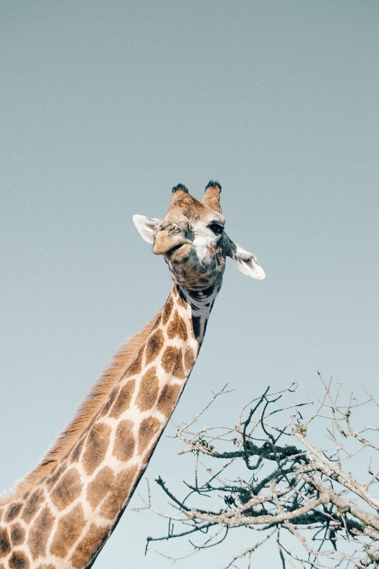 """Was kostet eine Safari? - Immer wieder habe ich von Safariangeboten gelesen, die für junge Berufstätige wie mich unleistbar sind. Das von uns gewählte """"Love Safari""""-Package kostete für 2 Nächte insgesamt 1000€, also pro Person 500€. Inkludiert waren die Lodge, ein fabelhaftes Frühstücksbuffet sowie das Abendessen, 4 Safaris zu je 2h inklusive Snacks und Getränken zwischendurch, eine 30-minütige Massage und Zugang zum Gemeinschaftspool. Ich würde unser Game Resort in der Mittelklasse einordnen, da es auch für kleineres Budget viele Angebote gab. Sehr zu empfehlen sind zum Beispiel auch die kleinen Chalets mit Balkon für 230€/Person für zwei Nächte. Normale Standardzimmer gibt es bereits ab 180€/Person für zwei Nächte. Bei allen Preisen sind pro Tag zwei Safaris und die Verpflegung inkludiert. Außerdem muss angemerkt werden, dass diese Zimmerpreise keinesfalls mit normalen Hotelzimmern verglichen werden können. Eine Safari ist ein unvergessliches Abenteuer – und wenn euer Geld im Urlaub richtig aufgehoben ist, dann hier. Achtet also nicht nur darauf, schöne Unterkünfte zu haben sondern informiert euch auch über Reservate denen artgerechte Haltung wichtig ist."""