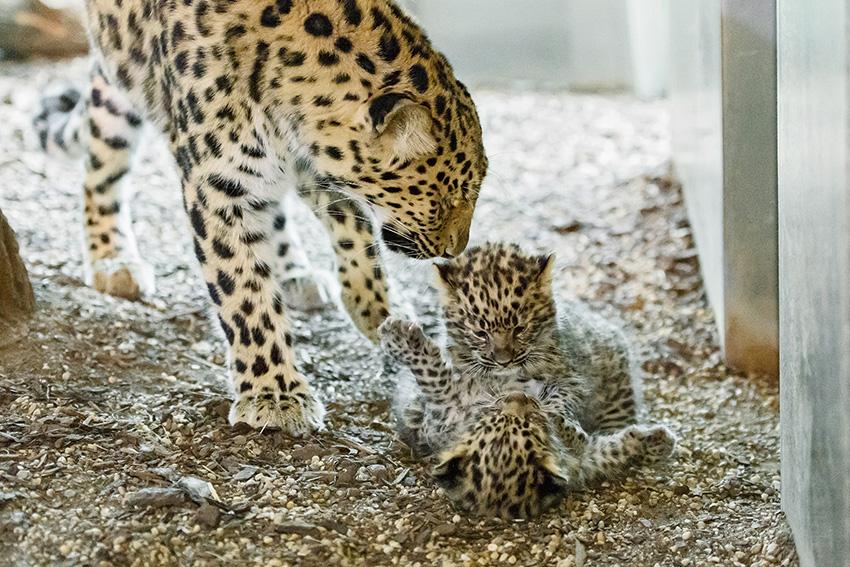 Leoparden nachwuchs - Ausschlaggebend für unseren gestrigen Besuch war die Geburt zweier Leoparden-Babys, die mit ihren wenigen Wochen entzückender nicht sein könnten. Der Andrang war groß, nach wenigen Minuten hatten wir aber doch freie Sicht auf die zwei winzigen Katzen, die verspielt die ungewohnte Umgebung erkundeten.