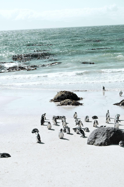 Anreise zur Pinguin-kolonie - Der Park liegt am Rande von Simons Town, einer Stadt etwa 30 km südlich des Kapstädter Stadtzentrums. Mit einem Mietwagen ist Simon's Town einfach zu erreichen. Manche Touristen buchen auch eine organisierte Tagestour hier her. Eine Alternative ist die Fahrt mit der Kapstädter Bahn, die vom Hauptbahnhof bis nach Simons Town in etwa einer Stunde fährt. Vom Bahnhof ist es noch eine halbstündiger Spaziergang zur Pinguinkolonie.