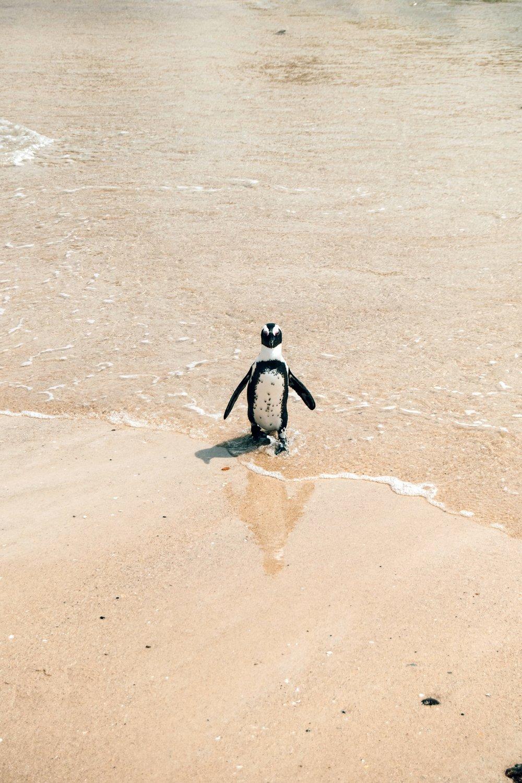 Den Tierenhautnah sein - Wer den Tieren wirklich nahe kommen möchte, entscheidet sich für die zweite Variante. Wir waren bald Vormittags dort, die Sonne schien nicht allzu stark und es waren gerade einmal eine Handvoll Menschen am Küstenabschnitt von Boulders Beach.