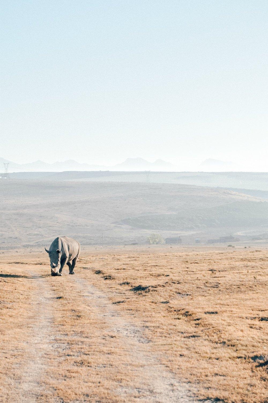 """- Löwe:zwei Mal fuhren wir in den separaten Bereich der vier dort lebenden Löwen; 1 Löwe und drei Löwinnen. Da die schönen Raubtiere 18-20h am Tag schlafen, waren sie auch bei unserem Besuch nur mäßig aktiv. Das Positive: aufgrund ihrer Zahmheit konnten wir sehr nah an die Tiere heranfahren und hatten zudem keinerlei Bedenken um unsere Sicherheit.Gepard: die """"Cheetahs"""" , bestehend aus Mama und Kindern, ließen anfangs ein wenig auf sich warten. Immer wieder haben wir Skelette auf den Wiesen gefunden, bei denen Robyn die Geparden als """"Jäger des Gebiets"""" betitelte. Erst bei unserem dritten Game Drive haben wir die wunderschönen Katzen zu Gesicht bekommen; noch dazu während die drei Jungtiere genüsslich eine Antilope verspeisten, die sie eigenhändig erlegt hatten.Giraffe: auch wenn diese eleganten Tiere nicht zu den Big Five gehören, zählen sie definitiv zu meinen Favoriten. Als würden sie unseren Geländewagen beschnuppern wollen, näherten sich die Giraffen derart nahe an, dass ich mit meinem Kopf etwas zurück weichen musste – ein absolutes Erlebnis!was uns ansonsten noch über den Weg gelaufen ist: Zebras, Strauße und mehrere Antilopenarten."""