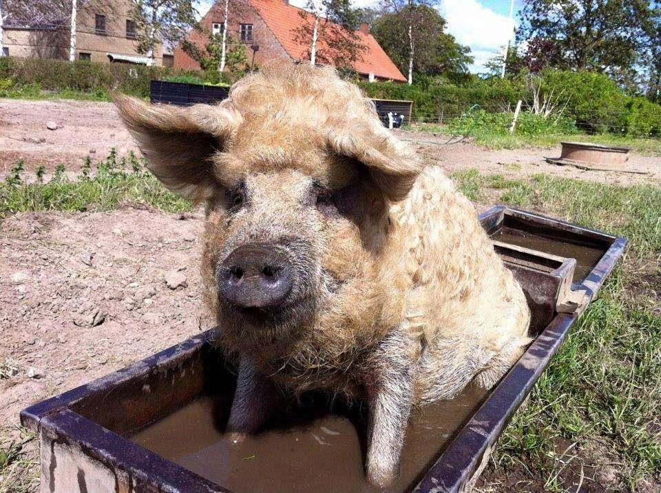 billede glad gris.jpg