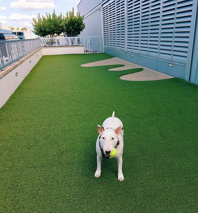 Tillie, Head of Security, warming up for the long Labor Day weekend.🐶🎾 . . . #targetdog #doglover #puppylove #cutedogs #pawsome #dogmodel #rooftop #dc #ccdc #citycenterdc #skybark #rooftop #acreativedc #picoftheday #puppyoftheday #laborday #labordayweekend #igdc #dcliving #dctravels #travel #lifeofadventure #alwaysgo #keepitwild #staybpr #bprhospitality #bullterrier #style #photooftheday #airbnb #vacation