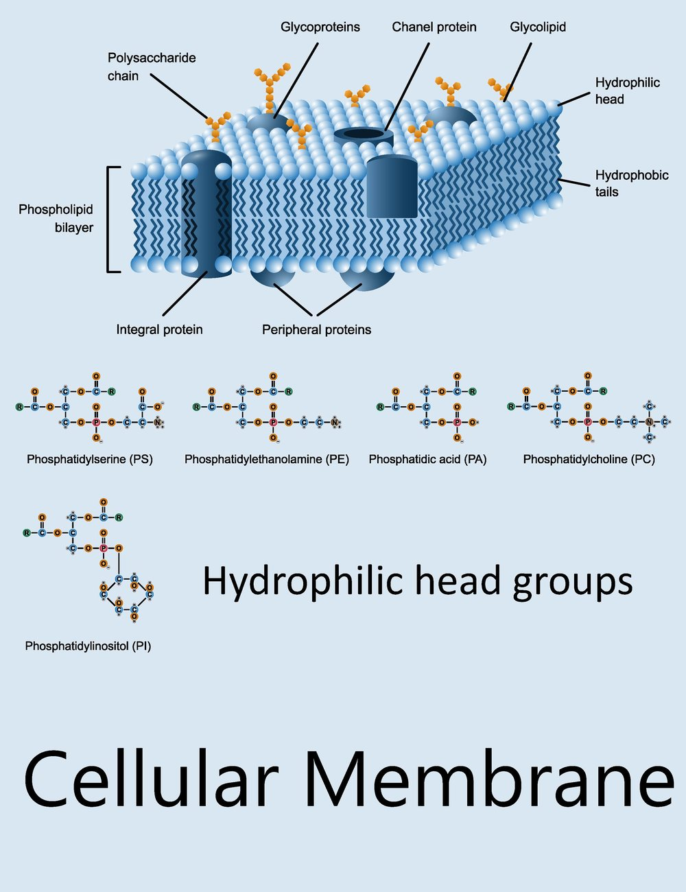 Example of a Cell Membrane