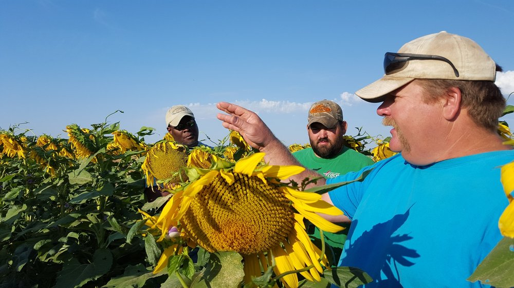 cheney-lake-watershed-companion-crop-zongker-sunflower.jpg