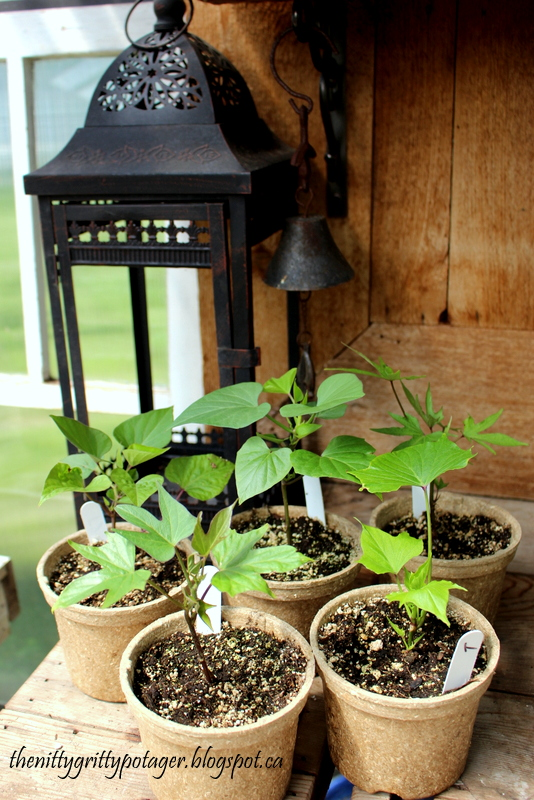 Sweet potato slips in bio-degradable eco-pots.