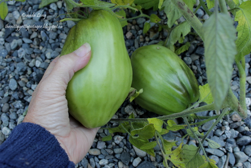 Because even green tomatoes are beautiful…