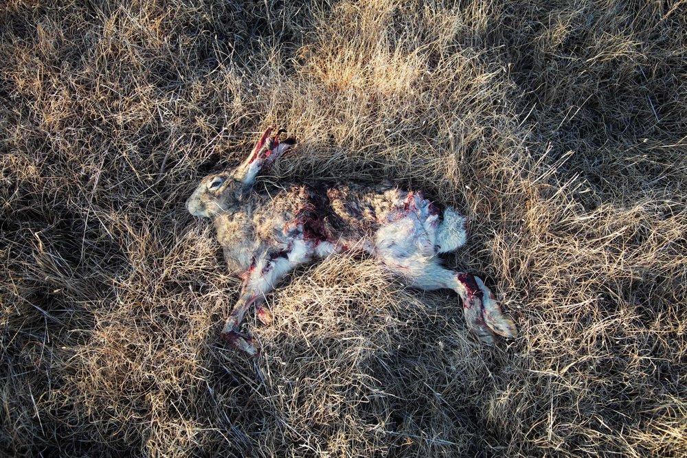 Buck the Cubicle Eagle Killed Rabbit