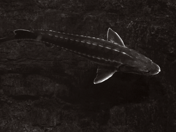 fish_sturgeon.png