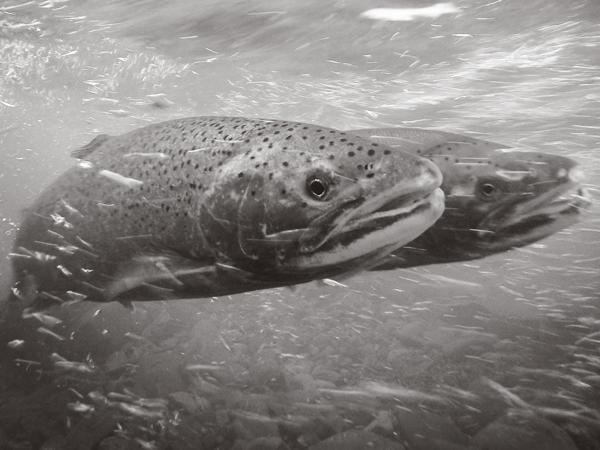 fish_steelhead.png