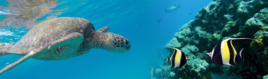 Snorkeling Lanikai Beach Turtle Fish