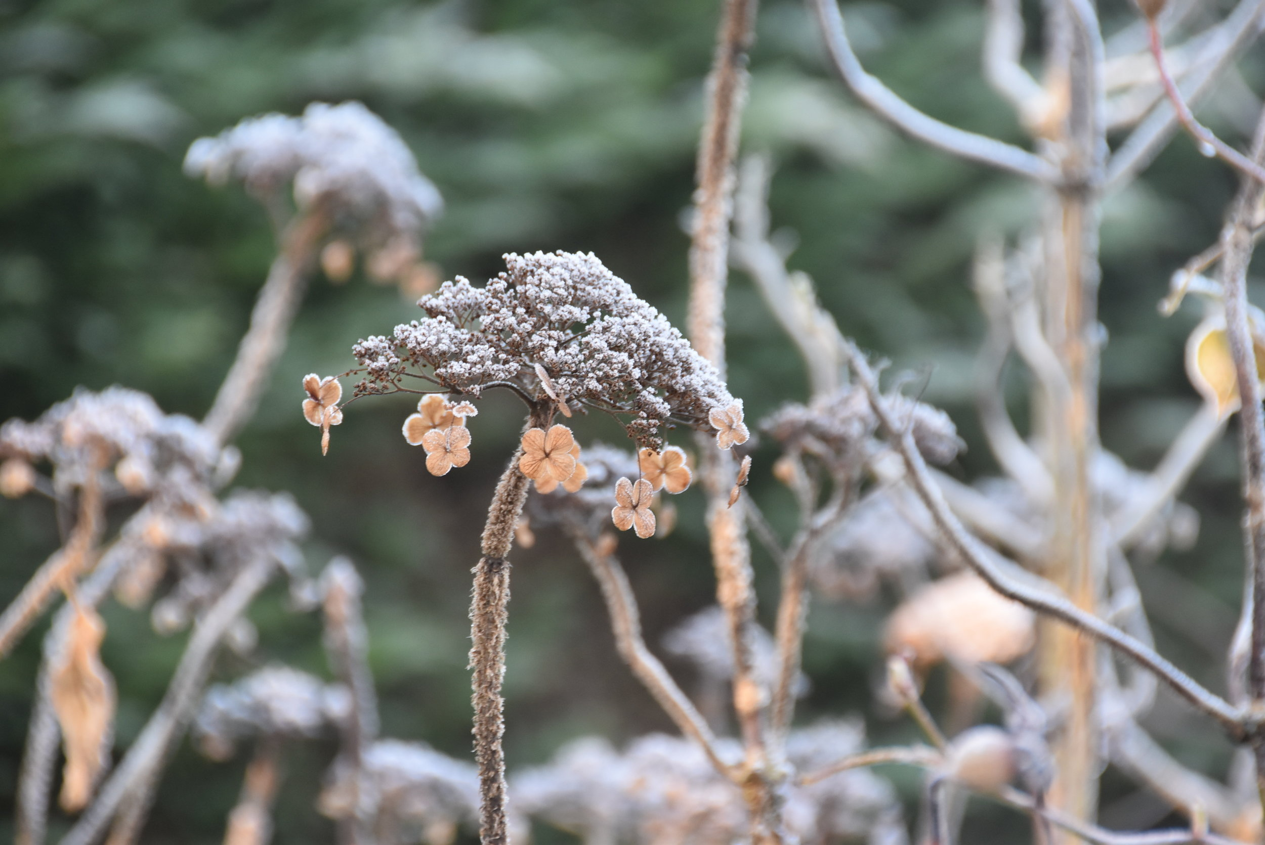 Seed head with frost