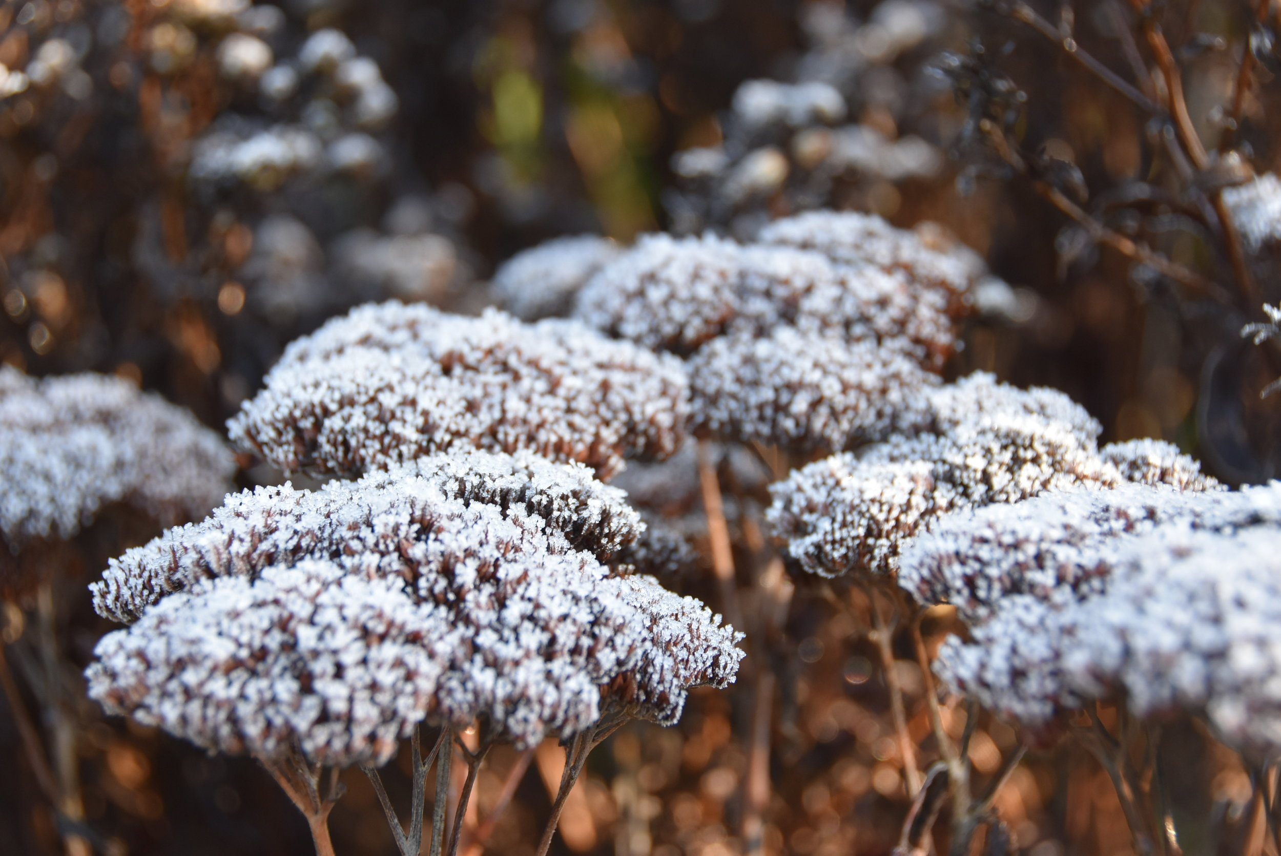 Seed heads and frost