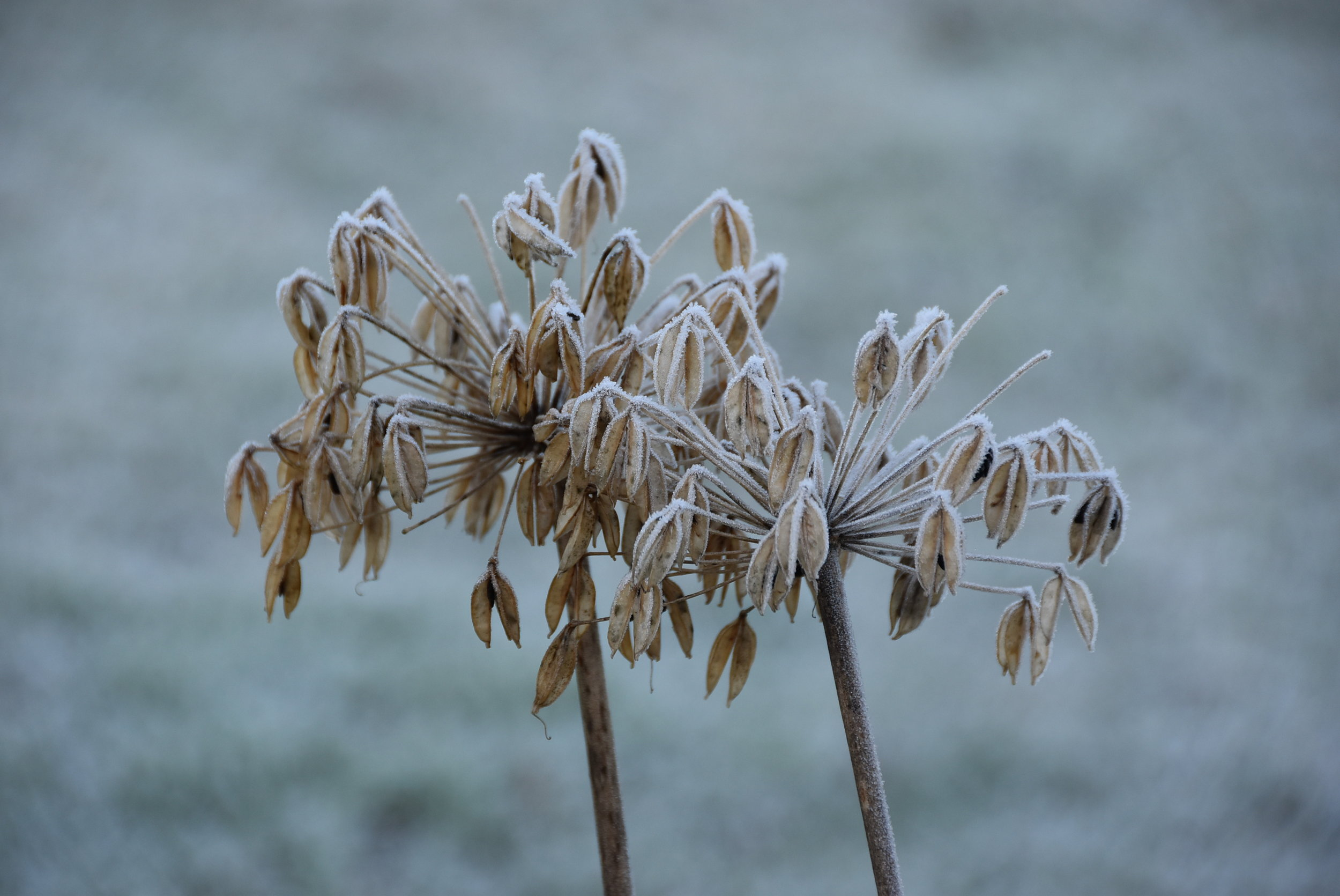 Delicate seeds and frost