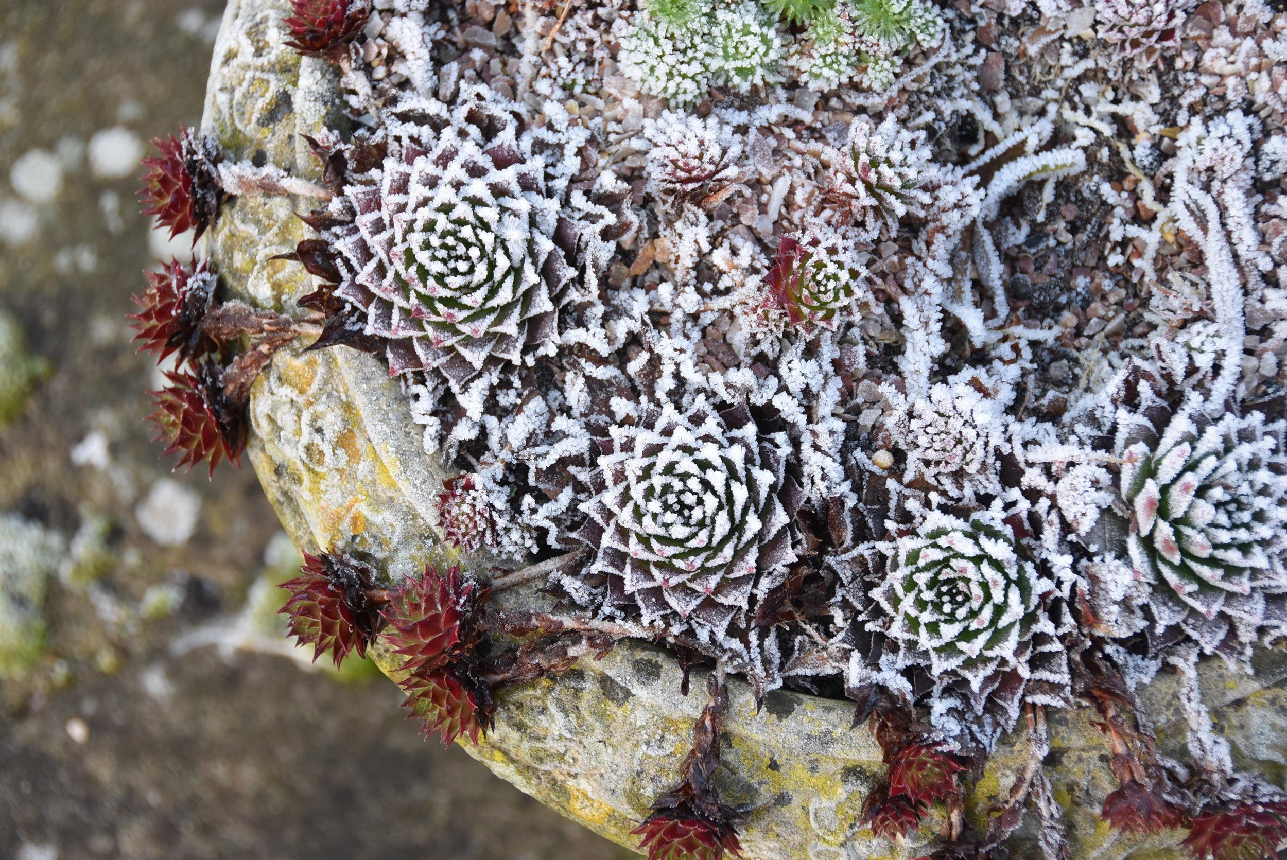 Alpine plants in frost