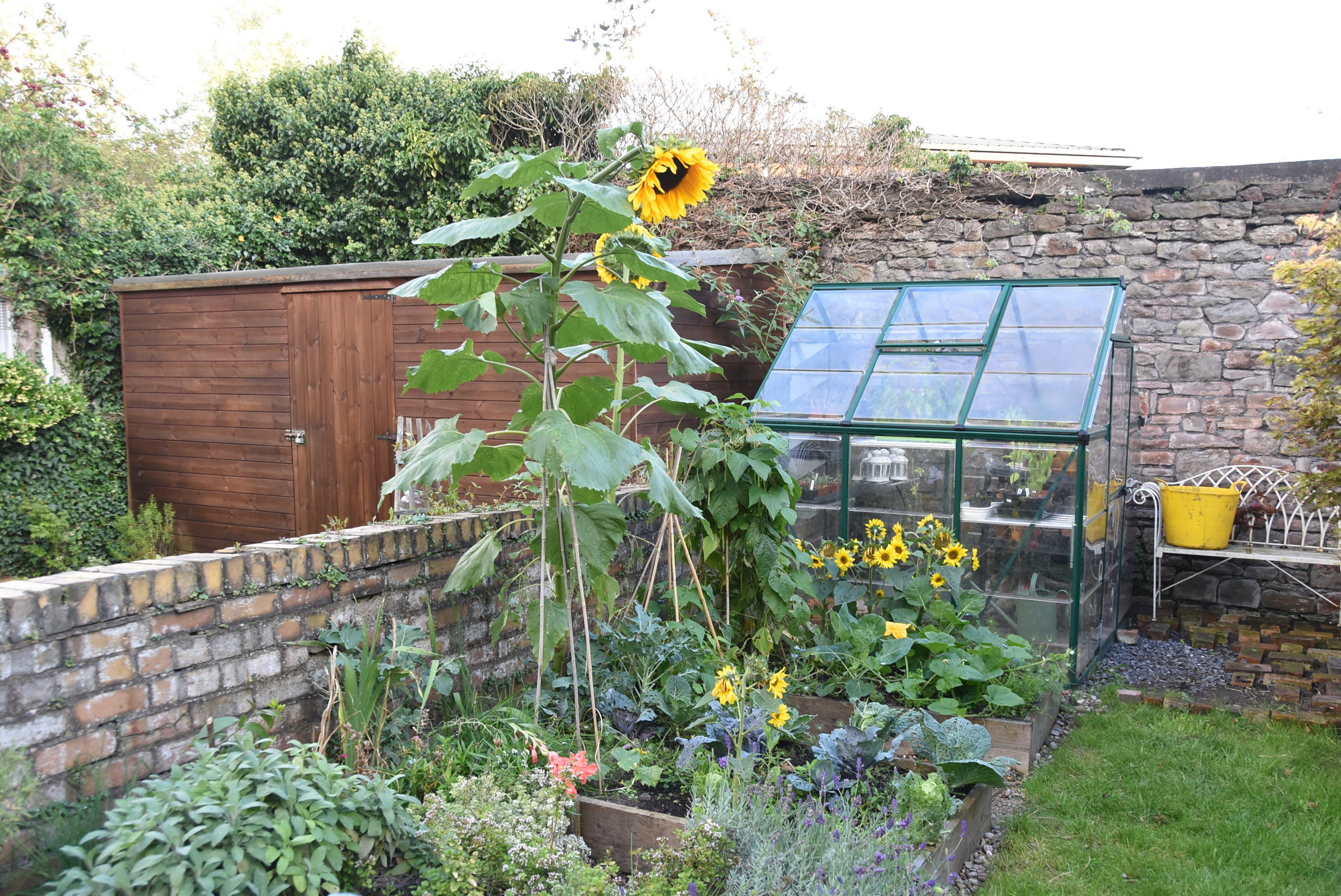 Sunflowers in our urban garden
