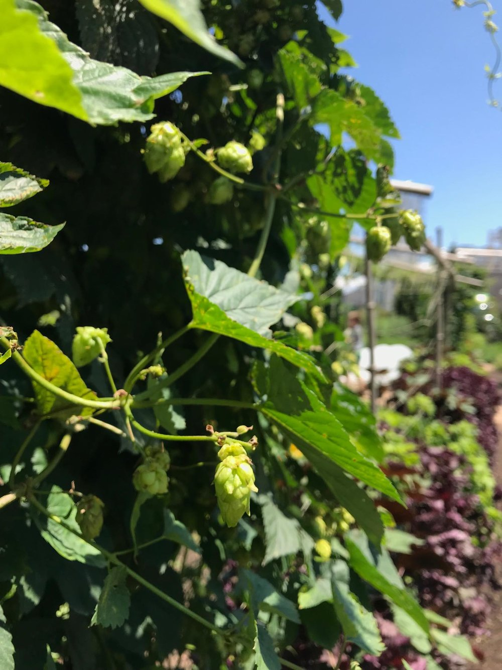 Fresh hops on the vine.