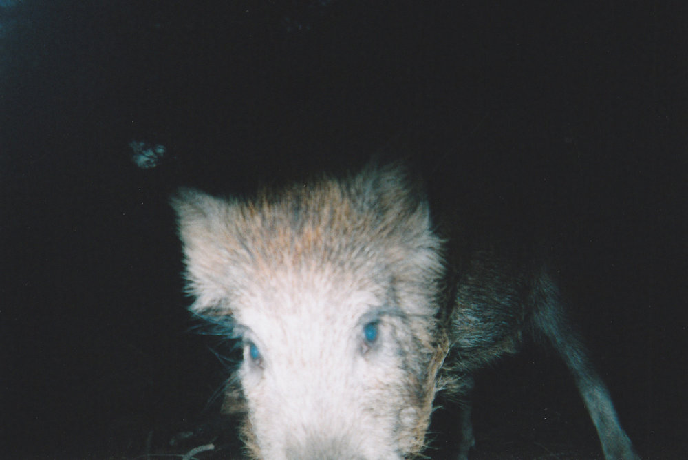 Wild Boar Photos 01.jpg