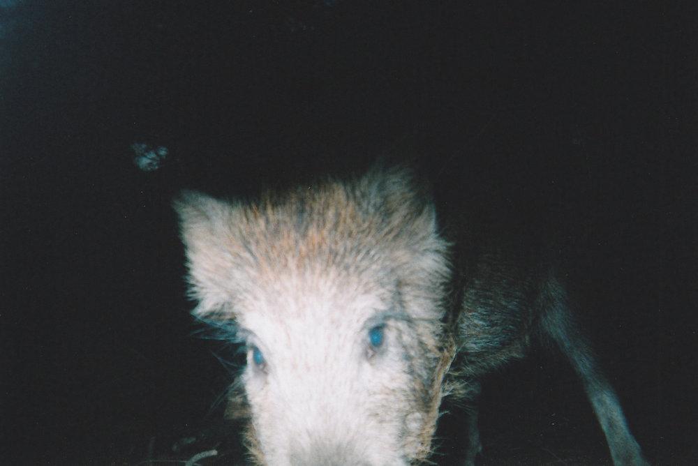 Wild Boar Photos 01.jpg