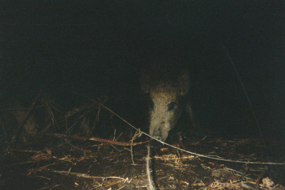 Wild Boar Photos 02.jpg