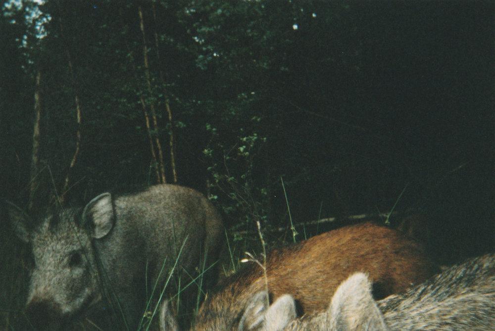 Wild Boar Photos 03.jpg