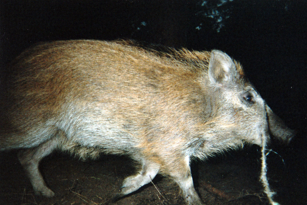 Wild Boar Photos 06.jpg