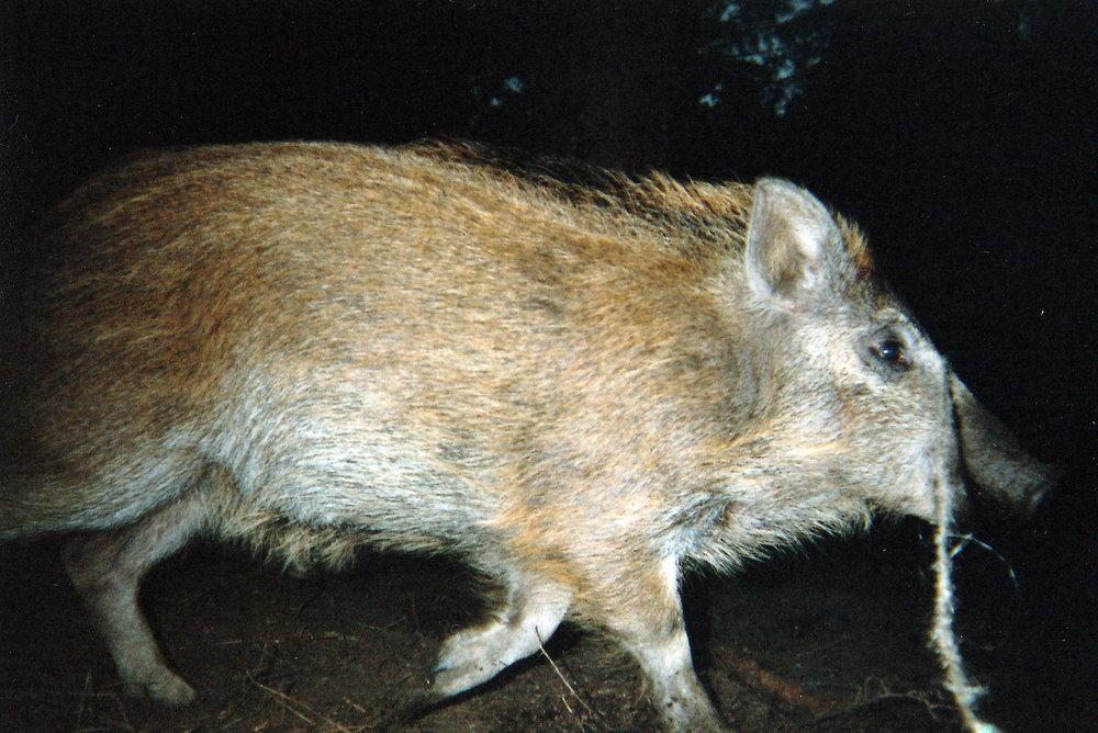 Wild Boar Photos 06.jpg