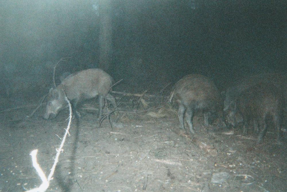 Wild Boar Photos 08.jpg