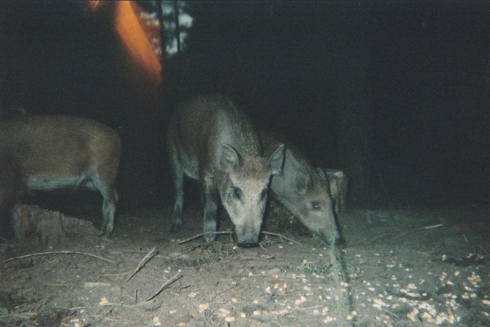 Wild Boar Photos 11.jpg