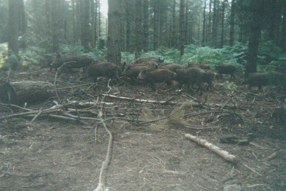Wild Boar Photos 10.jpg