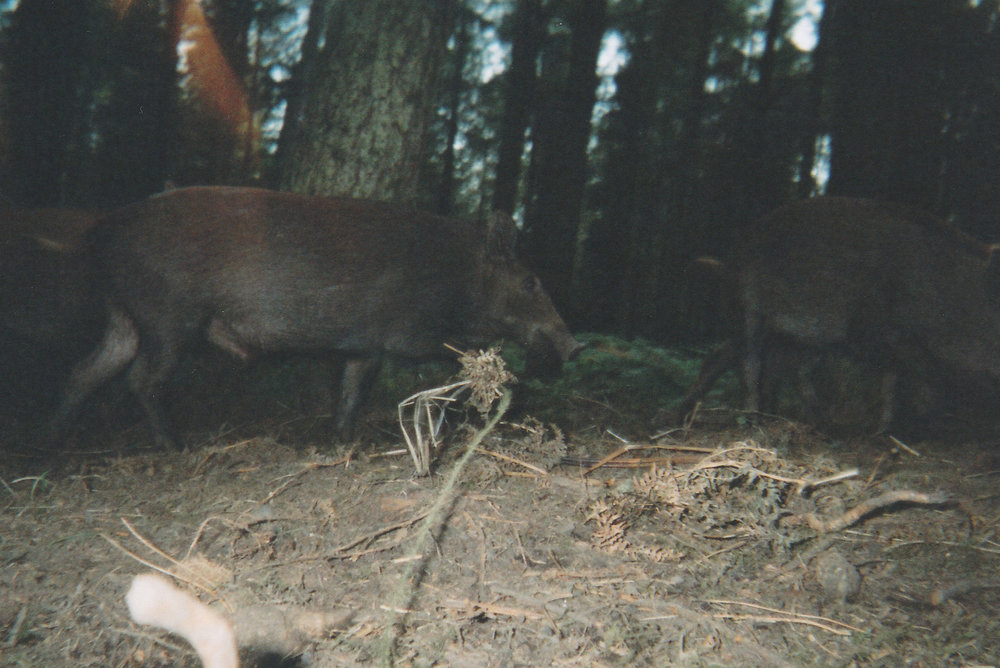 Wild Boar Photos 13.jpg