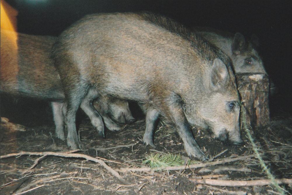 Wild Boar Photos 15.jpg